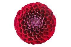 Blume der roten Dahlie auf einem weißen Hintergrund Stockfoto