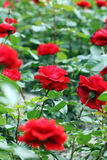 Blume der roten Rosen Lizenzfreies Stockfoto