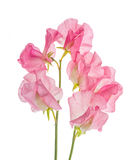 Blume der süßen Erbse Lizenzfreie Stockfotos