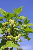 Blume der Schwarzen Johannisbeere Stockfotos