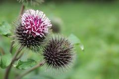 Blume der schwarzen Kugel Stockbild