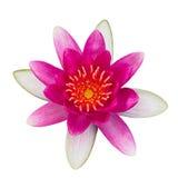 Blume der Seerose, Lotos Lizenzfreies Stockbild