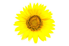 Blume der Sonnenblume lokalisiert auf Weiß Stockbild