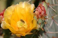 Blume der stacheligen Birne Lizenzfreie Stockfotos
