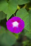 Blume der violetten Farbe auf dem natürlichen Hintergrund Lizenzfreie Stockfotos