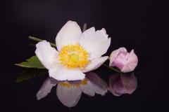 Blume der violetten japanischen Anemone mit der Knospe auf blac Lizenzfreies Stockfoto
