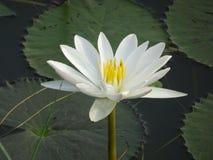 Blume der weißen Lilie auf Wasser mit einigem verlässt Stockfotos