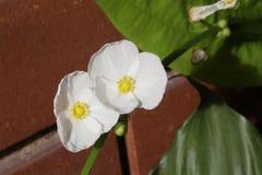 Blume der weißen Mohnblume Lizenzfreies Stockfoto