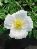 Blume der weißen Mohnblume Lizenzfreies Stockbild