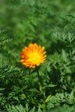 Blume an der Wiese Lizenzfreie Stockfotografie