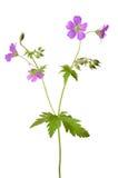 Blume der Wiesenpelargonie (Pelargonie pratense) Lizenzfreie Stockbilder