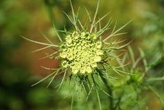 Blume der wilden Karotte lizenzfreies stockbild