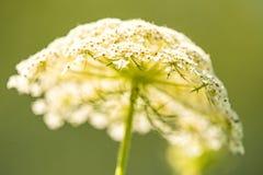 Blume der wilden Karotte Lizenzfreies Stockfoto