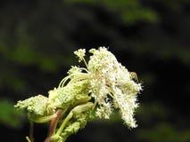 Blume der wilden Karotte im Herbst Stockfoto