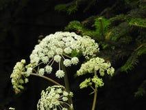 Blume der wilden Karotte im Herbst Lizenzfreie Stockfotos