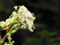Blume der wilden Karotte im Herbst Stockbild