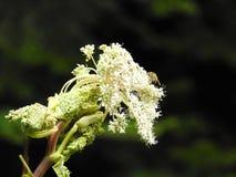 Blume der wilden Karotte im Herbst Lizenzfreie Stockbilder