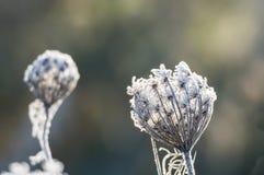 Blume der wilden Karotte im tiefen Winterfrost Stockfotos