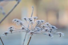 Blume der wilden Karotte im tiefen Winterfrost Lizenzfreie Stockfotografie