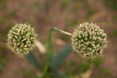 Blume der Zwiebel Stockbild