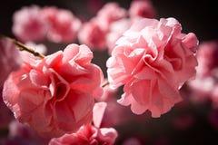 Blume des Abschminktuchs Stockbilder