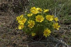 Blume des Adonisröschen (Adonis-vernalis) Lizenzfreie Stockfotografie