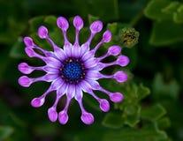 Blume des afrikanischen Gänseblümchens stockfotos