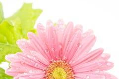 Blume des afrikanischen Gänseblümchens Stockfoto