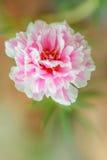 Blume des allgemeinen Purslane. Stockbilder
