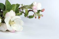 Blume des Apfelbaums Lizenzfreies Stockfoto