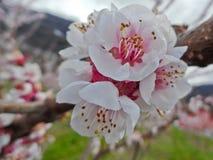 Blume des Aprikosenbaums (Prunus armeniaca) Stockfotos