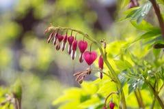 Blume des blutenden Herzens Lizenzfreie Stockfotografie