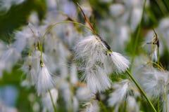 Blume des breitblättrigen Wollgrases, breitblättrige Baumwollesegge, Eriophorum latifolium, im Sommer lizenzfreie stockbilder