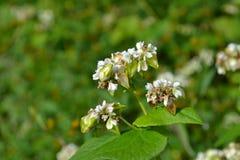 Blume des Buchweizenfeldes Stockfoto