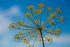 Blume des Dills Lizenzfreie Stockfotografie