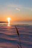 Blume des einfachen Rohrblattes durch die untergehende Sonne Lizenzfreies Stockfoto