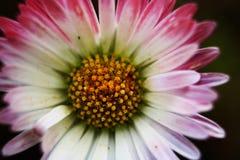 Blume des ersten Stockwerkes des Mittelmeerflecks im Halbinsel salentina mit langen Belastungen durch die direkte Sonne lizenzfreie stockbilder