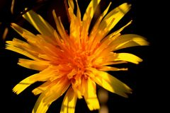 Blume des ersten Stockwerkes des Mittelmeerflecks im Halbinsel salentina mit langen Belastungen durch die direkte Sonne stockfotografie