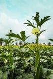 Blume des essbaren Eibisches Lizenzfreie Stockfotos