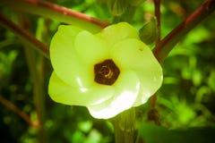 Blume des essbaren Eibisches Lizenzfreies Stockfoto