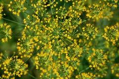 Blume des Fenchels Lizenzfreie Stockfotografie