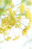 Blume des Fenchels auf Weiß, Unschärfe Lizenzfreie Stockfotos