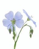 Blume des Flachses Lizenzfreies Stockfoto