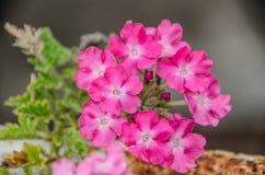 Blume des formalen Gartens Lizenzfreies Stockbild
