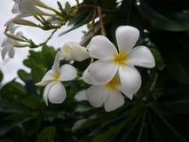 Blume des Frangipani-(Plumeria) Lizenzfreie Stockfotos