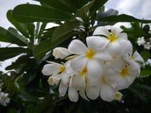 Blume des Frangipani-(Plumeria) Stockfotografie