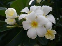 Blume des Frangipani-(Plumeria) Stockfotos