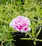 Blume des geläufigen Purslane Lizenzfreies Stockfoto