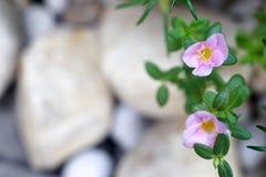 Blume des geläufigen Purslane stockfotos