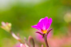 Blume des geläufigen Purslane Stockbild